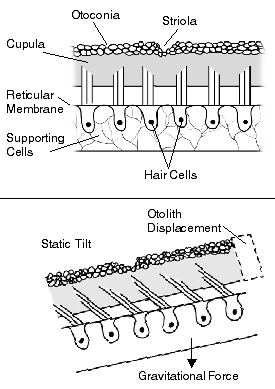Diagram explaining how hairs in the ear work.
